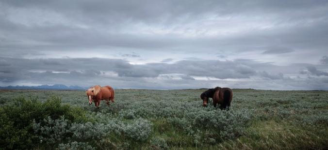Islandski konj, ki je znan po svoji trpeznosti.